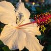 Hibiscus at sunset