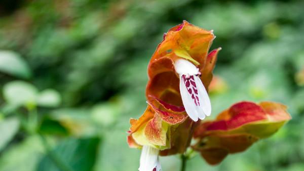White flower, unknown. Perhaps Alpinia zerumbet – Shell Ginger or Curcuma
