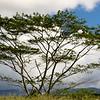 Moluccan Albizia tree