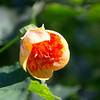 Redvein Flowering Maple