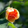 Redvein Flowering Maple