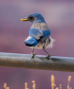 Mountain Bluebird with food, Grand Canyon