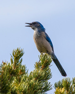 Singing Mountain bluebird