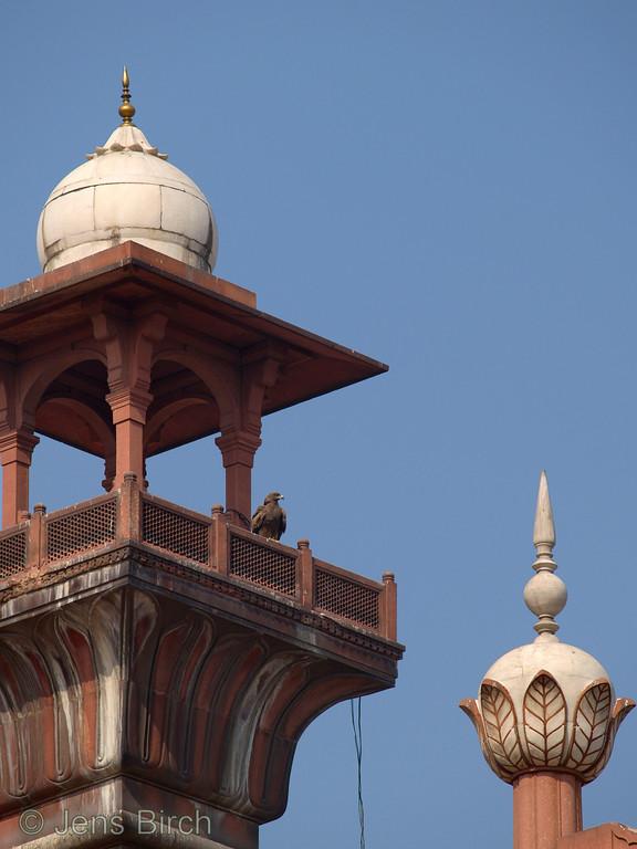 Black kite at Badshahi mosque