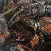 Fresh lobster in a wet market in Puerto Princesa, Palawan