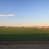 Yuma - one of the many lettuce fields in the area
