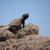 chuckwalla lizard - second largest in the states