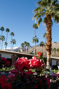Roses with the mountains above Palm Springs.