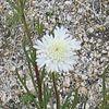 Fremonts Pincushion (Chaenactis fremontii Asteraceae)