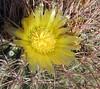Barrel Cactus (Ferocactus cylinderaceus Cactaceae)