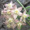 Fringed Twinevine (Funastrum cynanchoides Asclepiadaceae)