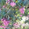 Manzanita (Arctostaphylos petula Eridaceae)