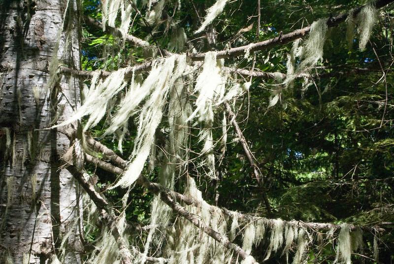 Spanish Moss on Pine Tree