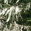 Spanish Moss on Pine Tree