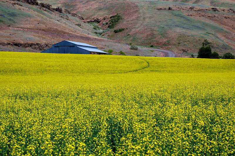 Rapeseed field along the Tucannon River, near Starbuck