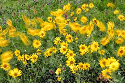 Wind through the daisies