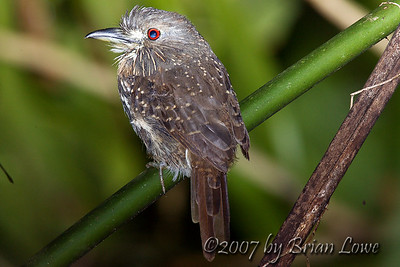 White-whiskered Puffbird. Photo taken at  Smithsonian Tropical Research Institute on Barro Colorado Island, Panama.