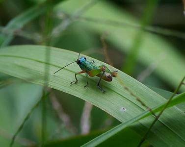 Quetzel Road. Panama September, 2103  Tutti frutti metallic grasshopper. This is the most beautiful grasshopper I have ever seen.