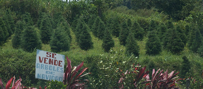 Quetzel Road. Panama September, 2103  yes, that's right, Christmas trees for sale.