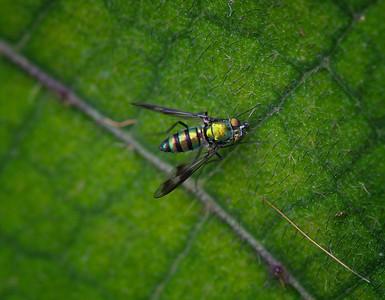 Quetzel Road. Panama September, 2103  Long Legged Fly.