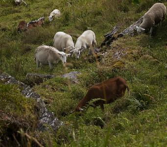 Quetzel Road. Panama September, 2103  Sheep agrazin'