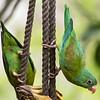 Orange Chinned Parakeet, La Estancia B&B, Panama