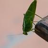 Los Quetzales Grasshopper