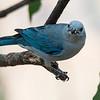 Blue-grey Tanager, La Estancia B& B, Panama