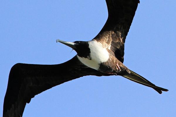 Mighty Frigate Bird Panama Canal Cruise 2013