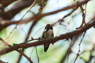 Costa's Hummingbird