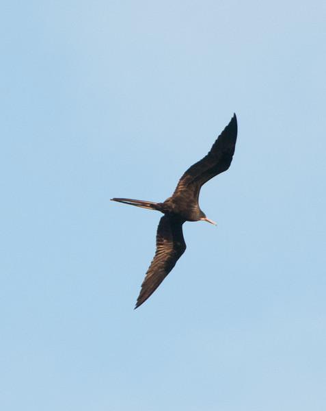 • Aruba<br /> • Frigate bird in flight