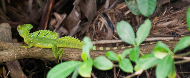 • Costa Rica<br /> • Jesus Christ Lizard (basilisk) - They literally walk on water.