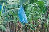• Costa Rica<br /> • Blue plastic bag protecting bananas