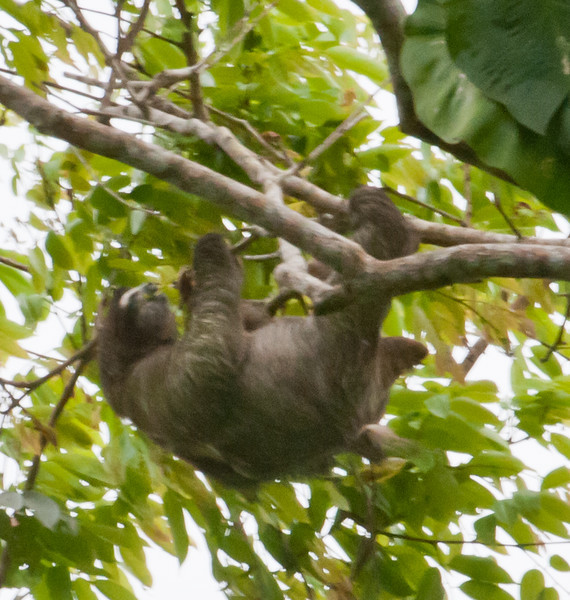 • Costa Rica<br /> • Sloth deep in the woods