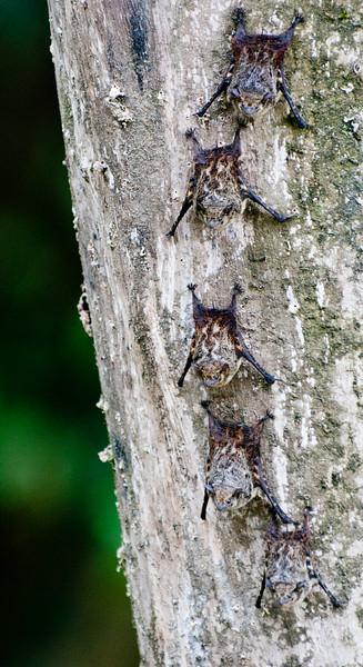 • Costa Rica<br /> • Vampire Bats