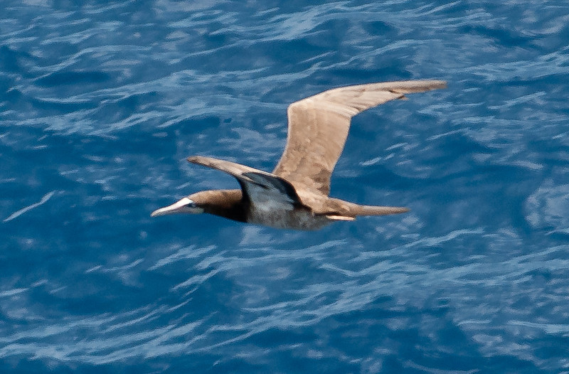 • Sea Day<br /> • Brown Booby in flight