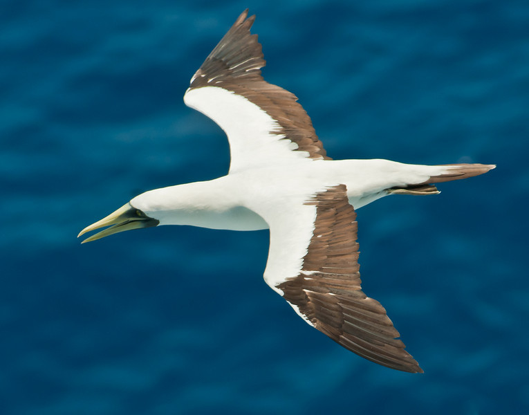 • Sea Day<br /> • Mask Booby in flight