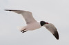 • Panama Canal<br /> • Laughing Gull