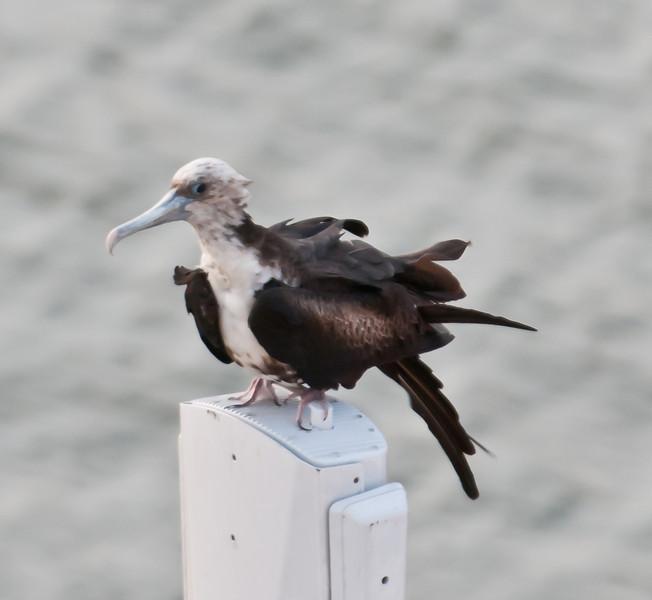 • Panama Canal<br /> • Frigate bird