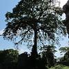 A Panama tree, symbol of Panama.
