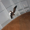 Sea Lion: Brown Booby trying to fly off second deck