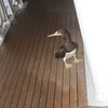 Sea Lion: Brown Booby on second deck