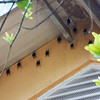 Barro Colorado Island: Bats on eve of building
