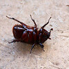 Barro Colorado Island: Rhinoceros beetle (female) on back