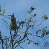 Granito de Oro: Common Black-Hawk in tree zoom