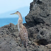 Granito de Oro: Bare-throated Tiger-Heron on shore zoom
