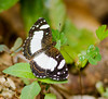 butterflies_Panama024