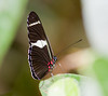 butterflies_Panama025