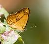 butterflies_Panama022