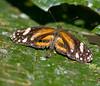 butterflies_Panama029